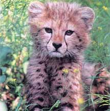 cheetah-focal-pic1